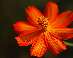 Orange Cosmos - Random rest stop in Alabama