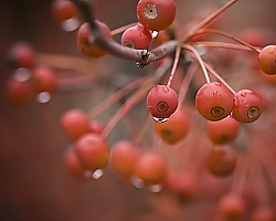 Rain-soaked crab apple tree - Hooksett, NH
